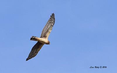 Northern Harrier  - 3/20/206 - San Jacinto Wildlife Area, Riverside County