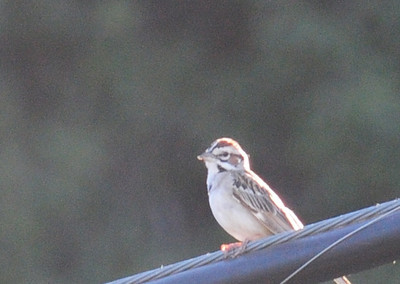Lark Sparrow on wire by the parking lot.