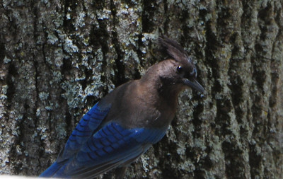 Stellar's Jay at Peter and Millie's