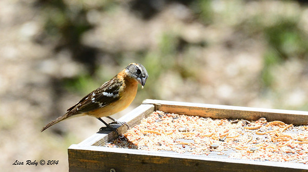 Female Black-headed Grosbeak - 4/13/2014 - Pine Hills, Peter and Millie's