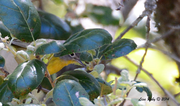 Nashville Warbler, Peek-A-Boo I See You - 4/14/2014 - Pine Hills, Peter and Millie's