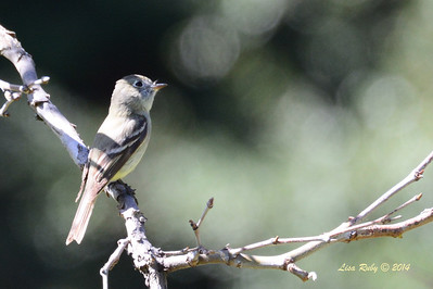 Pacific Slope Flycatcher - 4/13/2014 - Santa Ysabel Preserve, East Entrance