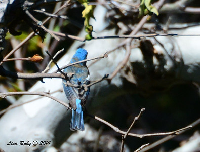 Back of Lazuli Bunting - 4/14/2014 - Santa Ysabel Preserve, East Entrance