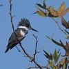 Belted Kingfisher  - 11/10/2017 - Santee Lakes