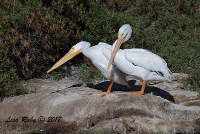 White Pelicans  - 11/10/2017 - Santee Lakes
