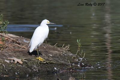 Snowy Egret  - 11/10/2017 - Santee Lakes