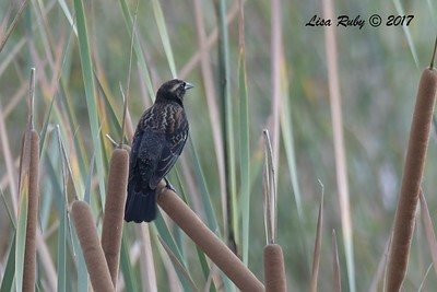 Red-winged Blackbird  - 11/10/2017 - Santee Lakes