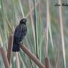Red-winged Blackbird  - 11/10/2017 - Santee Lakes