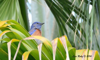 Western Bluebird - 12/11/2014 - Backyard Sabre Springs