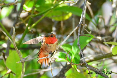 Selasphorus Hummingbird - 6/8/2014 - Backyard, Sabre Springs