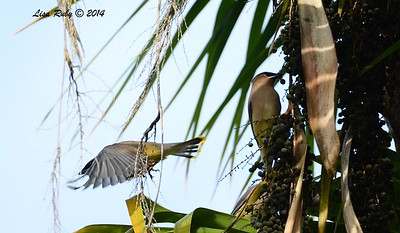 Cedar Waxwings - 12/11/2014 - Backyard Sabre Springs