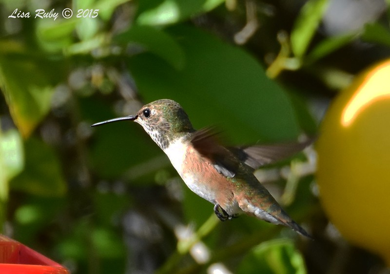 Female or Immature Selasphorus Hummingbird - 4/12/2015 - Backyard Sabre Springs