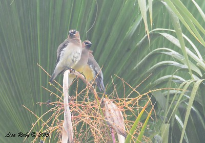 Waterlogged Cedar Waxwings - 1/11/15 - Backyard Sabre Springs