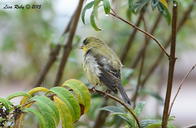 Lesser Goldfinch in the rain - 1/11/15 - Backyard Sabre Springs