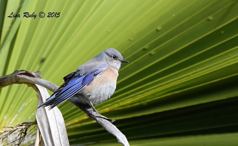 Western Bluebird  - 11/27/2015 - Sabre Springs backyard