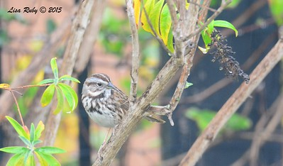 Song Sparrow - 1/11/15 - Backyard Sabre Springs