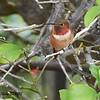 Allen's Hummingbird  - 11/27/2015 - Sabre Springs backyard