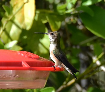 Female or immature Selasphorus Hummingbird - 4/12/2015 - Backyard Sabre Springs