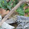 Hermit Thrush  - 11/27/2015 - Sabre Springs backyard