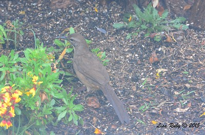 California Thrasher - 1/11/15 - Backyard Sabre Springs