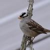 White-crowned Sparrow  - 11/27/2015 - Sabre Springs backyard