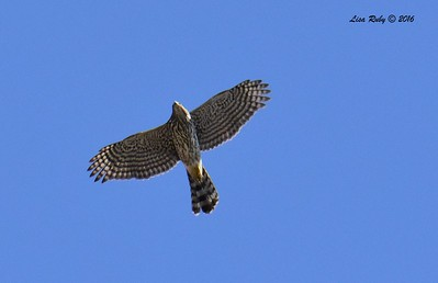 Juvenile Cooper's Hawk - 10/3/2016 - Sabre Springs
