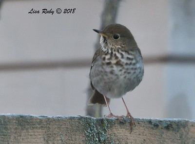 Hermit Thrush - 12/28/2018 - Backyard