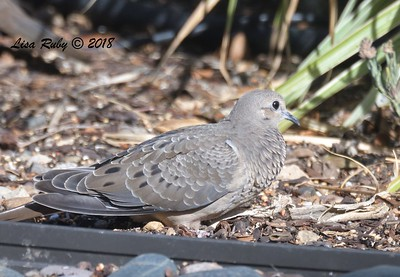 Juvenile Mourning Dove - 9/21/2018