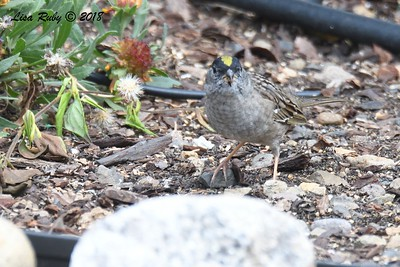 Golden-crowned Sparrow - 4/27/2018 - Sabre Springs backyard