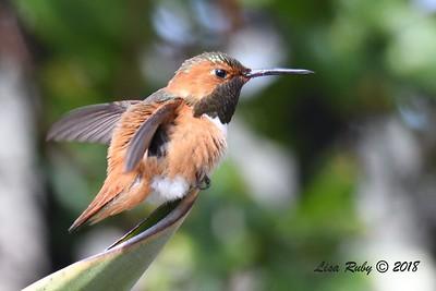 Allen's Humingbird  - 3/25/2018 - Sabre Springs backyard
