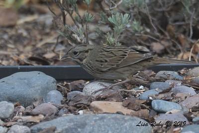 Lincoln's Sparrow - 10/9/2018 - Backyard Sabre Springs