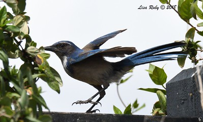 California Scrub Jay - 3/25/2018 - Sabre Springs backyard