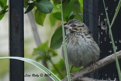 Juvenile Song Sparrow - 5/1/2018 - Backyard Sabre Springs