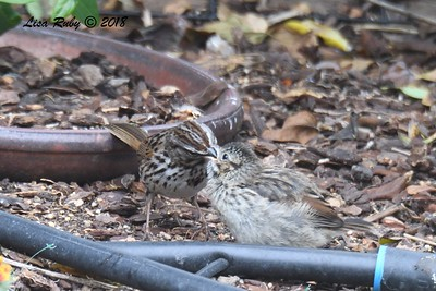 Song Sparrow adult and juvenile - 4/27/2018 - Sabre Springs backyard