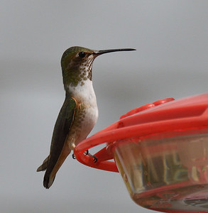 Rufous/Allen's Hummingbird  - 3/8/2018 - Backyard