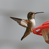 Rufous/Allen's Hummingbird  - 3/8/2018 - Backyard