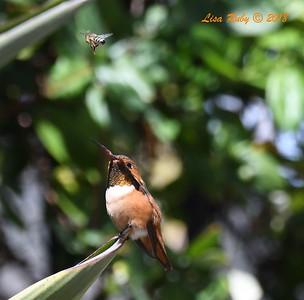 Allen's Hummingbird  - 3/25/2018 - Sabre Springs backyard
