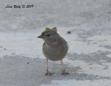 Golden-crowned Sparrow - 11/3/2018 - Backyard Sabre Springs