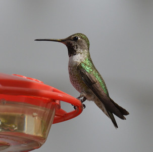 Anna's Hummingbird  - 3/8/2018 - Backyard