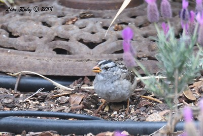White-crowned Sparrow - 4/27/2018 - Sabre Springs backyard