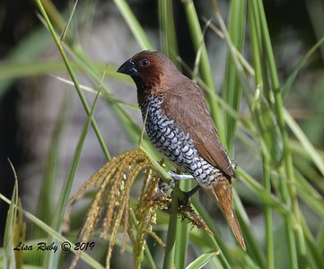 Scaley-breasted Munia  - 8/15/2019 - Backyard, Sabre Springs