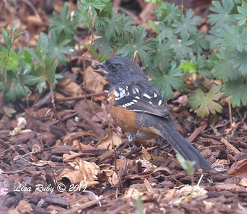 Spotted Towhee - 8/2/2019 - Backyard, Sabre Springs