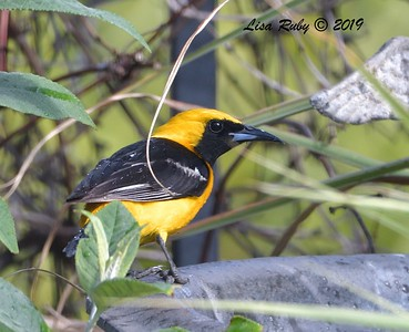 Hooded Oriole - 7/23/2019 - Backyard, Sabre Springs