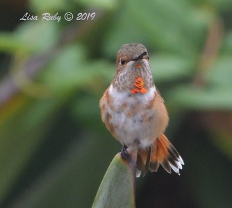 Rufous or Allen's Hummingbird - 8/2/2019 - Backyard, Sabre Springs