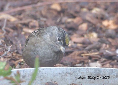 Golden-crowned Sparrow - 11/6/2019 - Backyard, Sabre Springs