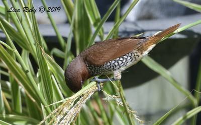 Scaly-breasted Munia  - 8/15/2019 - Backyard, Sabre Springs