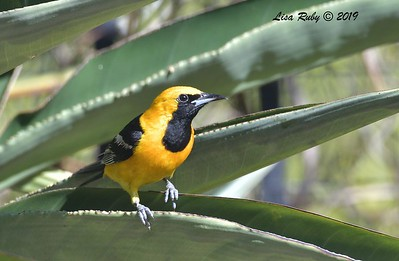 Hooded Oriole  - 8/15/2019 - Backyard, Sabre Springs
