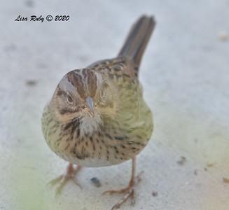 Lincoln's Sparrow  - 12/15/2020  Backyard, Sabre Springs