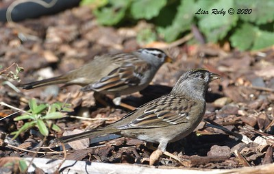 Golden-crowned Sparrow  - 12/15/2020  Backyard, Sabre Springs