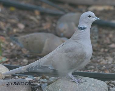 Eurasian Collared Dove - 12-26-2020 - Backyard, Sabre Springs